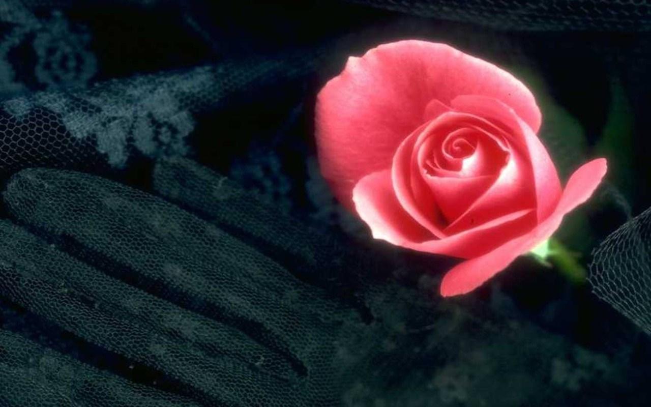 Rote rose 1