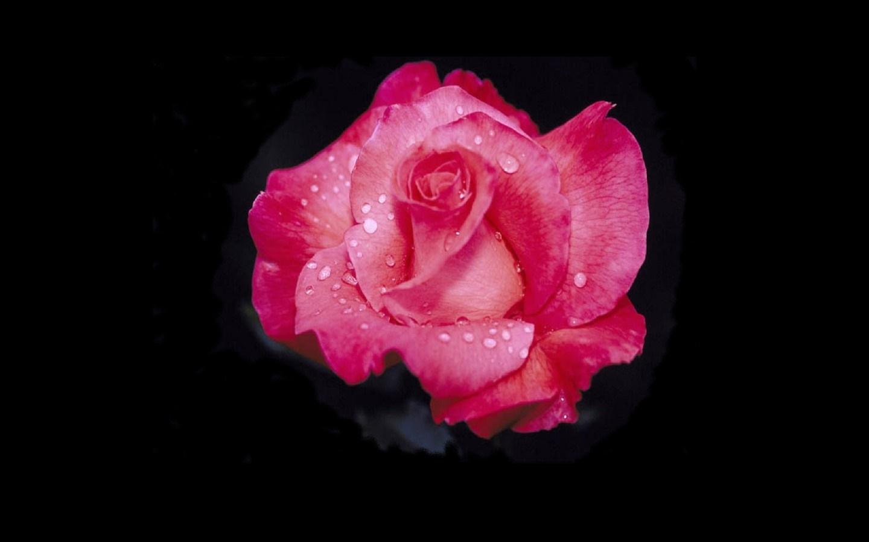 Rote rose 4