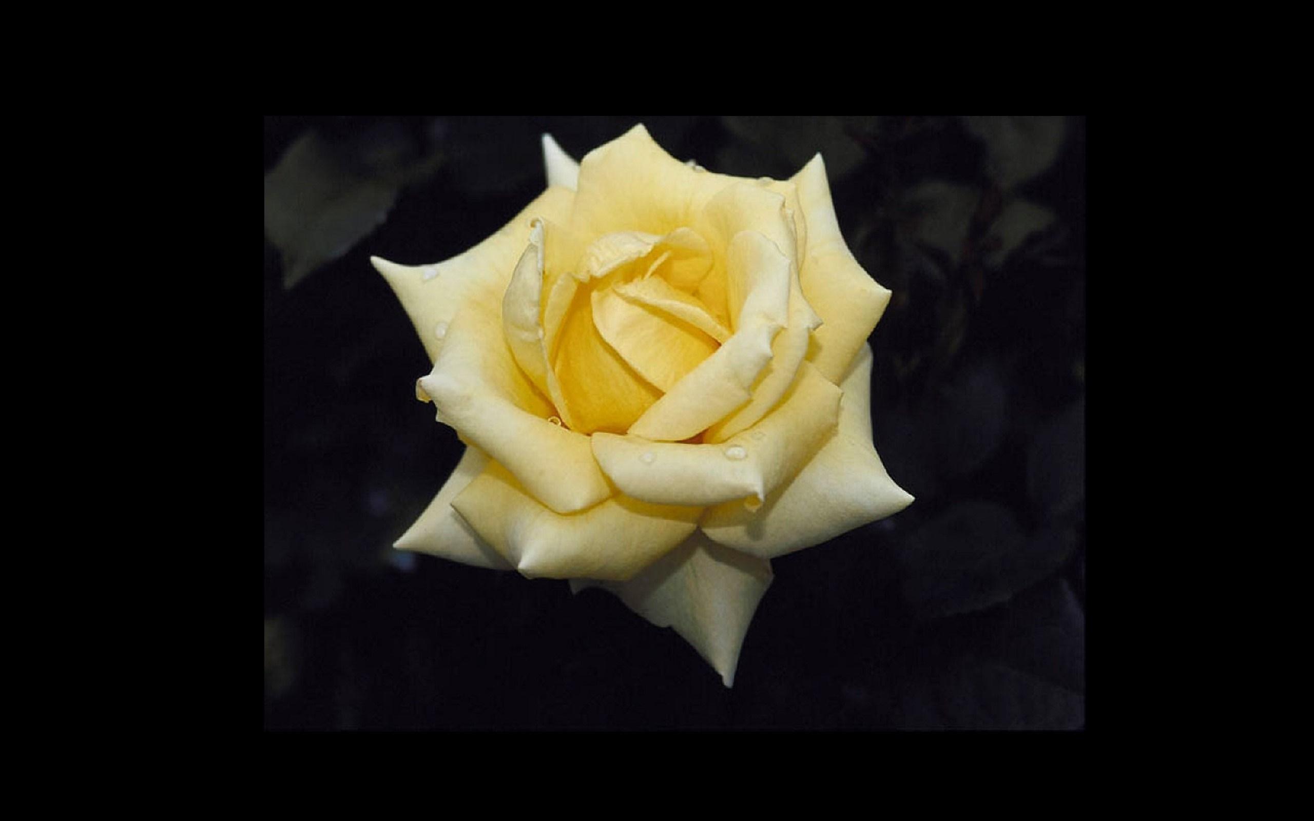Gelbe rosen 2